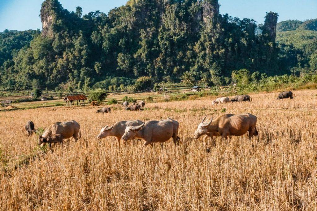Laos Bicycle Trip Water Buffalo